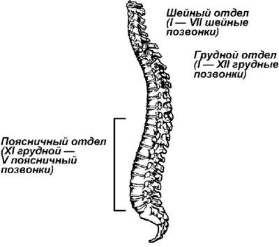 Анатомия позвоночника.