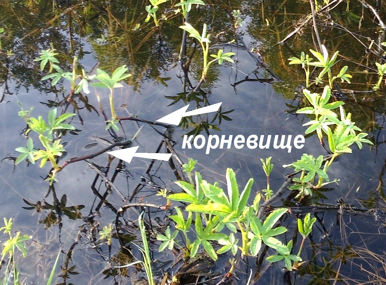 фото болотного сабельника