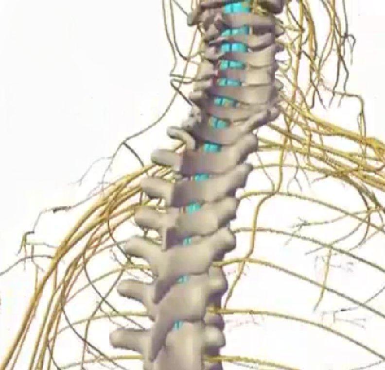 Спинной мозг и нервные корешки